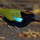 Rainbow Pitta by naturalnomad