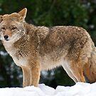 Yosemite Coyote 2 by Ken Scarboro