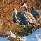 Sandhill Cranes in Snow by David Friederich