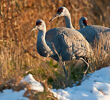 Sandhill Cranes in Snow by David Friederich