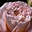 Rose Delight. . . .  by Joy Watson