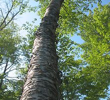 Old Birch on the Island by ronholiday