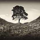 Robin Hood Tree - Black and White Version by Andrew Davoll