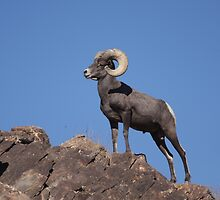Awesome Bighorn Sheep by cute-wildlife