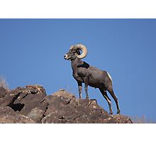 Awesome Bighorn Sheep Photographic Print