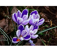 Beautiful Crocus Photographic Print