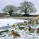 Snow n ducks n ice by Rob Hawkins