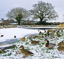 Snow n ducks n ice by Rob Hawkins