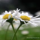 """""""Dancing Daisies"""" by Merice  Ewart-Marshall - LFA"""