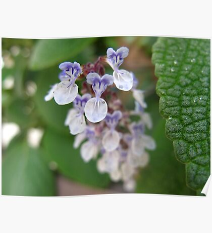 Baby Orchids Poster