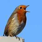 Robin in full song by Caroline Anderson