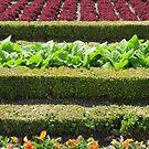 Versailles bloom by coastal