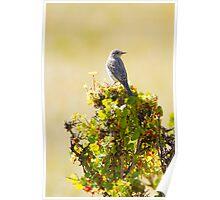 Mountain Bluebird-Female Poster