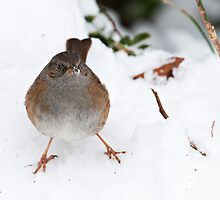 plucky sparrow braves the winter morning, The Rower, County Kilkenny, Ireland by Andrew Jones