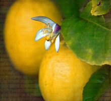 Sweet Lemon by Linda Cutche