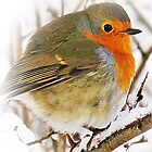 Robin Red Breast Card by Aj Finan