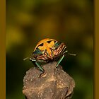 Orange stink bug 002 by kevin chippindall