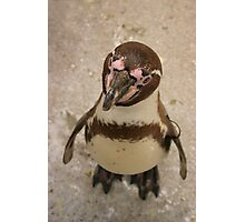 Curious Penguin Photographic Print