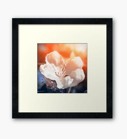 Blooming Apple Tree Framed Print