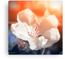 Blooming Apple Tree Canvas Print