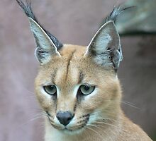 Awesome Caracal by cute-wildlife