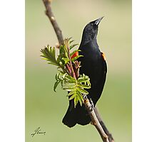The Self-important Red-winged Blackbird  Photographic Print