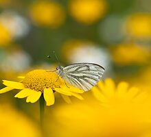 Butterfly on Gold by Sarah-fiona Helme