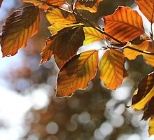 Copper Beech by Astrid Ewing Photography