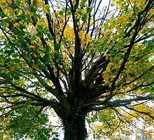 Sycamore tree. by Amanda Gazidis