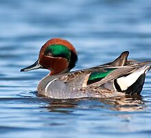 Green Winged Teal Portrait by Michael Mill