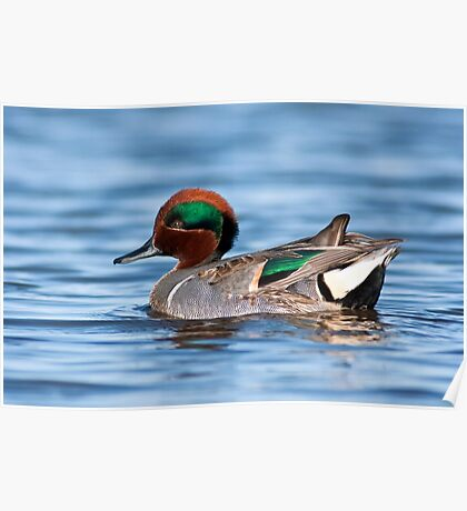 Green Winged Teal Portrait Poster