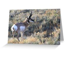 Pronghorn Antelope on Alert Greeting Card