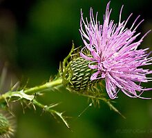 Thistle Blossoms by kjerrellimages