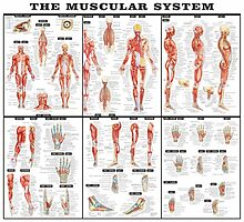The Muscular System by MuralDecal