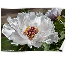 Spring Flowers - Peony Poster