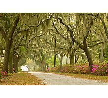 Live Oak Trees Photographic Print
