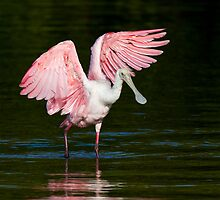 Spoonbill Dance by noffi