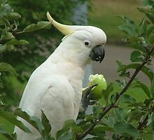 White Cockatoo in an Apple Tree by Jennifer Mosher