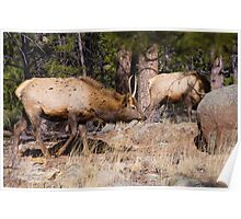 Young Male Elk Poster
