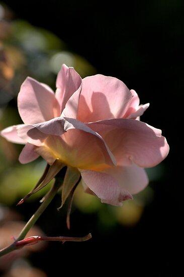 Rose In Light by Joy Watson