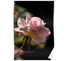 Rose In Light Poster