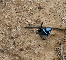 Little blue wren, Kangaroo Island,S.A. by elphonline