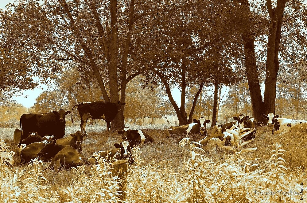 Got Cows? by Donnie Voelker
