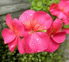 After the Rain, my Garden,Tumut, N.S.W. by kaysharp