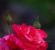 Rose after rain by kat86