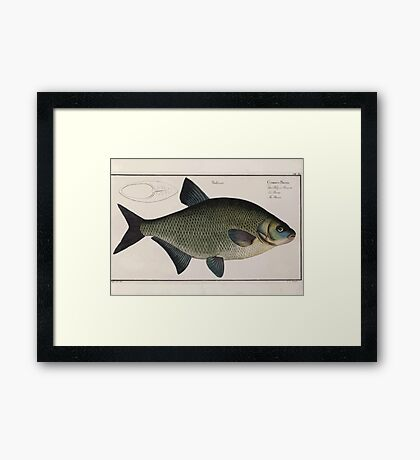 General natural history of fish  Germany Allgemeine naturgeschichte der fische Marcus Elieser Bloch Plates 1795 0263 Framed Print