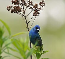 The Indigo Bunting by DigitallyStill
