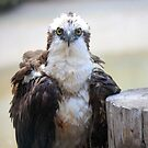 Osprey by D R Moore