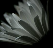Petals by SolsticeSol