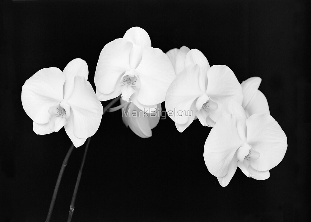 Orchids by MarkBigelow